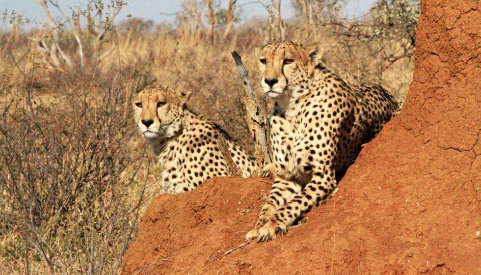 cheetah on a rock madikwe hills